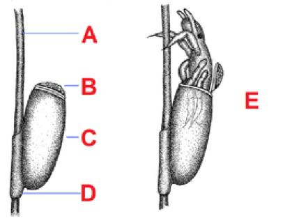 een neet vast aan het haar, nimf komt uit peervormig eitje door het klepje